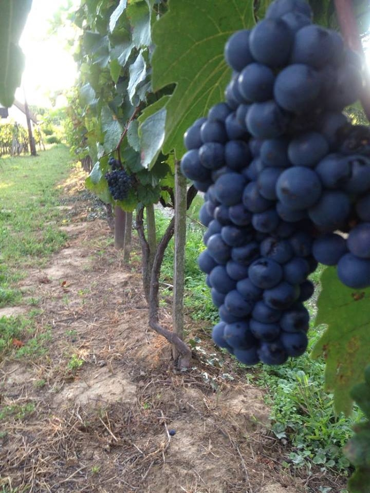 Zweigelt szőlő a Gáspár pincészet szőlőskertjében